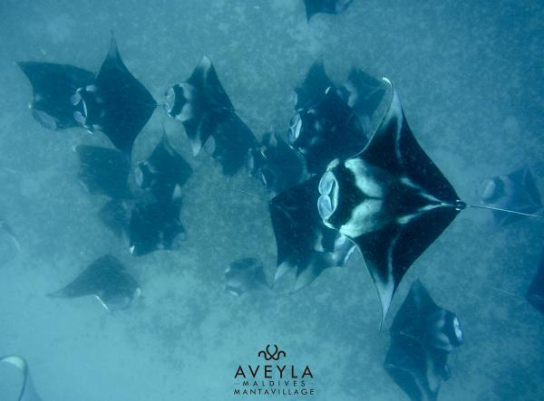 7 nights 10 dives & 2 Manta Trips to Hanifaru Bay